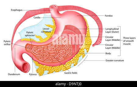 Human internal organs stomach anatomy isolated on a white anatomy of the human stomach stock photo ccuart Image collections