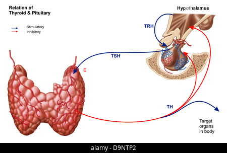 Relation of thyroid and pituitary gland. - Stock Photo