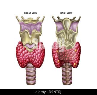 Anatomy of thyroid gland with larynx & cartilage. - Stock Photo