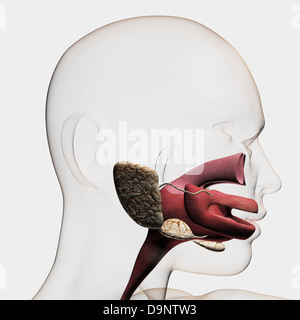 Medical illustration of the human digestive system; salivary glands, esophagus, and oral cavity. - Stock Photo