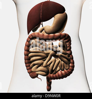 Medical illustration showing the human digestive system: liver, stomach, large intestine, small intestine. - Stock Photo