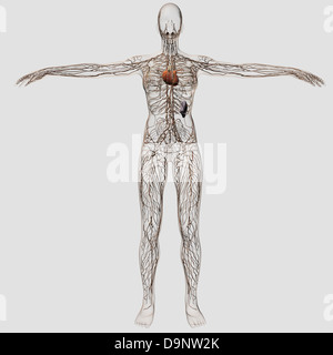 Medical illustration of female lymphatic system with heart at center, full body view. - Stock Photo