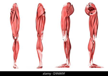 Medical illustration of human leg muscles, four side views. - Stock Photo