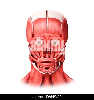 Medical illustration of male facial muscles, front view. - Stock Photo