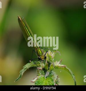Banded Demoiselle - Calopteryx splendens Female on nettle - Stock Photo