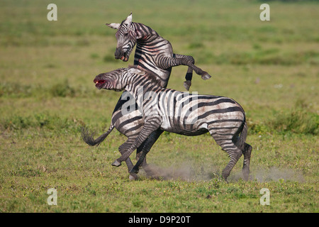 Zebras stallions fighting for an harem, Serengeti,Tanzania - Stock Photo