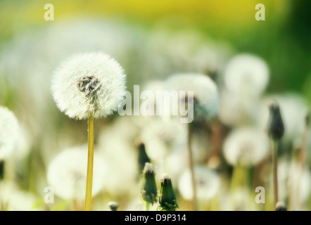 Field of blow-balls in the sunny summer - Stock Photo