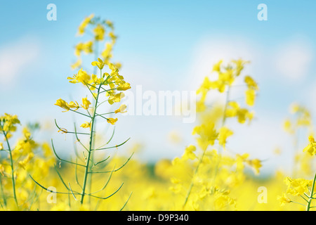 Photo of canola flower and yellow field - Stock Photo