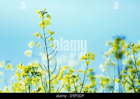 Photo presenting field of yellow canola - Stock Photo
