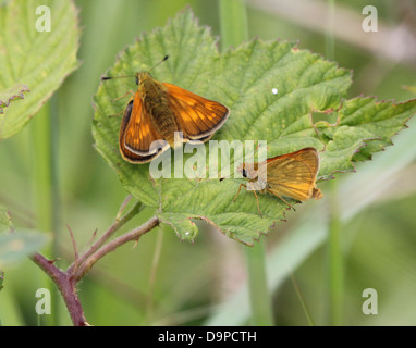 Macro close-up of a  male and female  Large Skipper butterfly (Ochlodes sylvanus) posing on a leaf - Stock Photo
