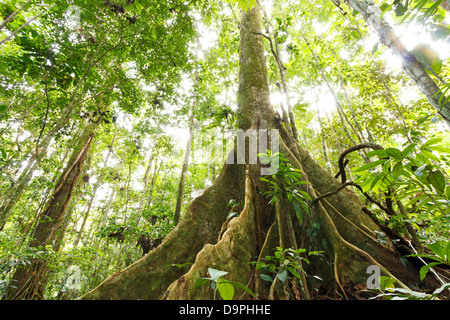 Large tree in primary tropical rainforest with buttress roots, Ecuador - Stock Photo