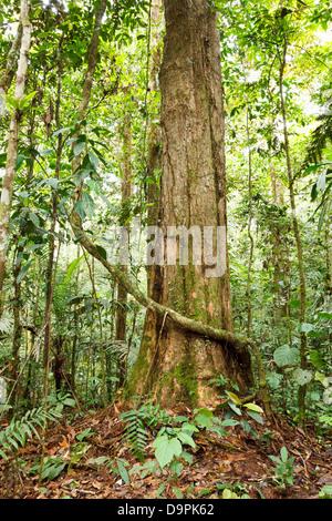 Large tree in primary tropical rainforest, Ecuador - Stock Photo