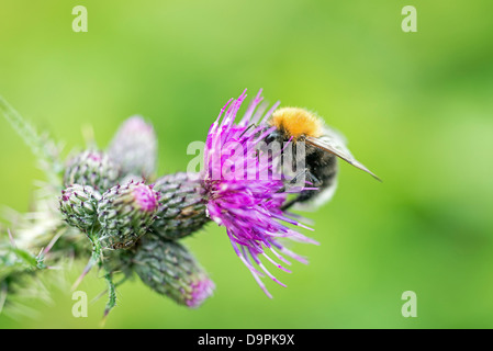 Bee taking Nectar from a purple marsh thistle flower on a sunny summer day - Stock Photo