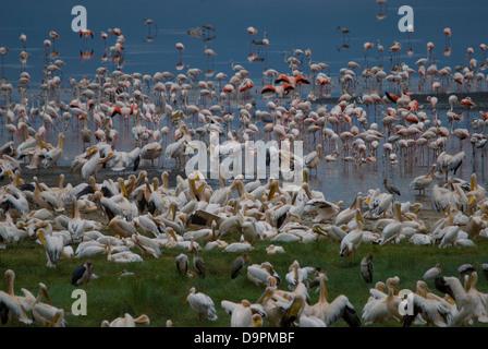 Flamingos and pelicans, resting and feeding at Lake Manyara - Stock Photo