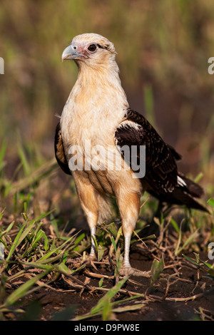 A Yellow-headed Caracara, Milvago chimachima, from Costa Rica, in a close vertical view - Stock Photo