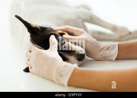 veterinary assistant checking pet dog eye on table - Stock Photo