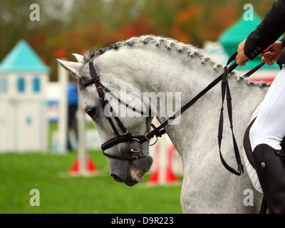 Beautiful dressage horse portrait with bridle - Stock Photo