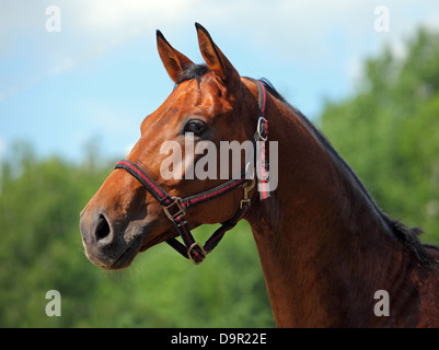 Beautiful purebred dressage horse portrait with bridle - Stock Photo