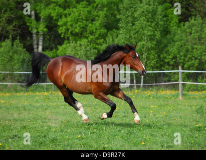 Holstein bay horse in freedom runs gallop on the meadow - Stock Photo