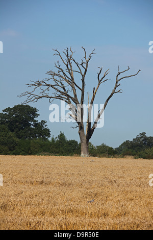 An old dead Oak tree standing alone in a field of Wheat with Wood Pigeons feeding around the tree. - Stock Photo