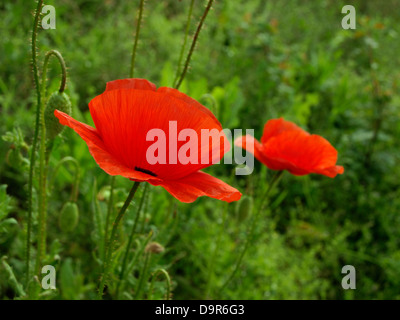 Poppy Flower Flowering Plant Symbol Of Sleep Peace And Death