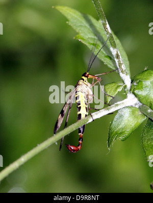 Close-up of a male common scorpionfly ( Panorpa communis) with its scorpion-like tail fully visible - Stock Photo