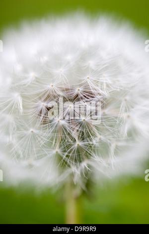 Close up macro shot of a dandelion head - Stock Photo