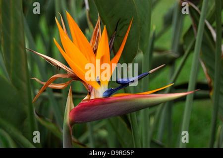 photograph of Bird of Paradise flowers (Strelitzia reginae) - Stock Photo