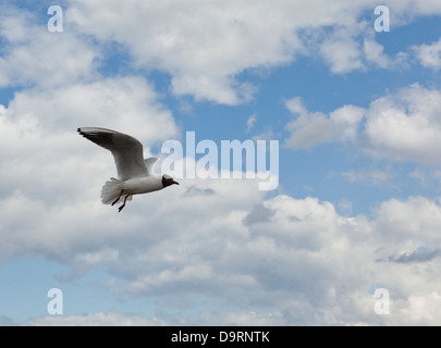 A single black headed gull flying in a cloudy blue sky - Stock Photo