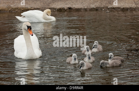 A pair of Mute swans (Cygnus Olor) swimming with their nine cygnets - Stock Photo