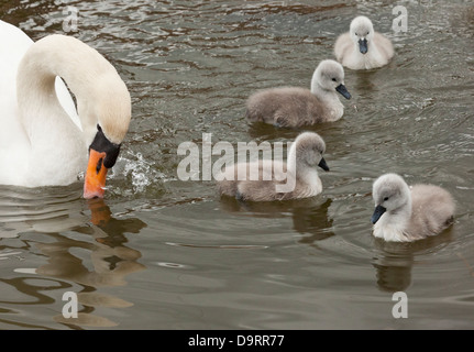 A Mute swan (Cygnus Olor) with her four cygnets swimming and dabbling in the water - Stock Photo