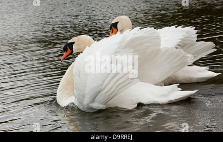 A pair of white Mute swans (Cygnus Olor) swimming - Stock Photo