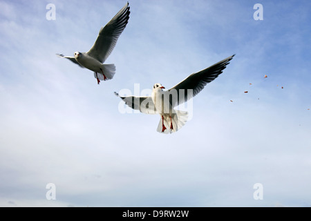 BLACK-HEADED GULLS PRAGUE & CZECH REPUBLIC 31 December 2012 - Stock Photo