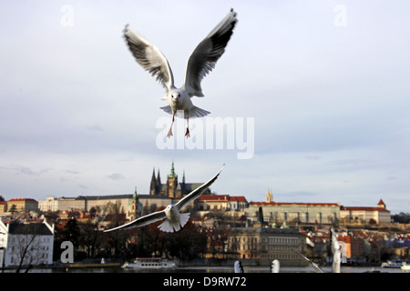 BLACK-HEADED GULLS CASTLE & ST. VITUS CATHEDRAL PRAGUE & CZECH REPUBLIC 31 December 2012 - Stock Photo