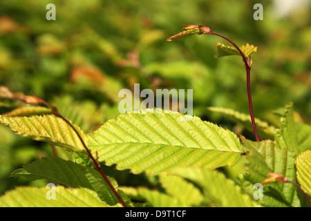 Fresh leaves growing on a hornbeam hedge - Stock Photo