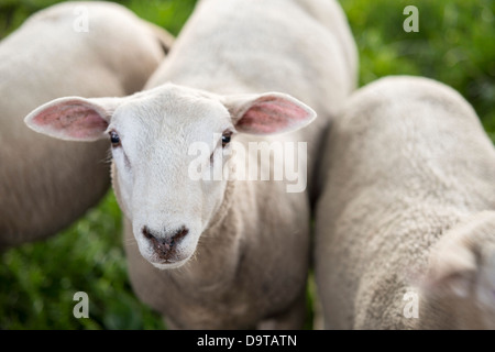 Texel Sheep on a meadow - Stock Photo