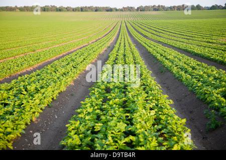 Rows of celery crop growing in field on Sutton Heath, Suffolk, England