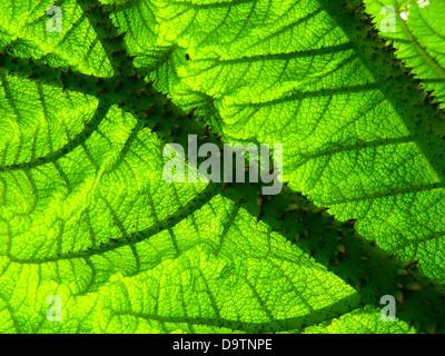 mammoth sheet gunnera manicata giant rhubarb - Stock Photo