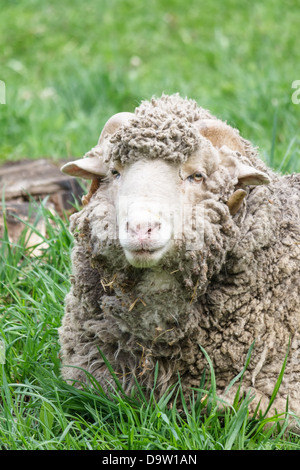 Portrait of an old Ram sheep lying in a grassy pasture - Stock Photo