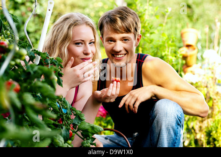 Gardening Couple - man and woman - harvesting and eating tomatoes in their domestic garden on a sunny day - Stock Photo