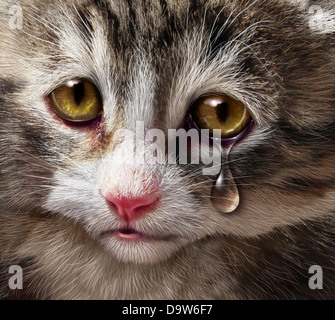 Animal abuse and pet cruelty and neglect with a sad crying kitten cat looking at the viewer with a tear of despair - Stock Photo