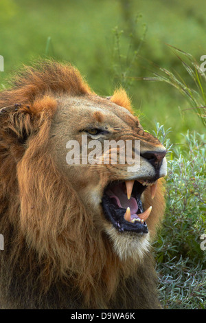 Male Lion (Panthera leo), Kruger National Park, South Africa - Stock Photo