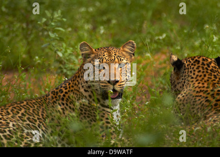 Leopards (Panthera pardus), Kruger National Park, South Africa - Stock Photo
