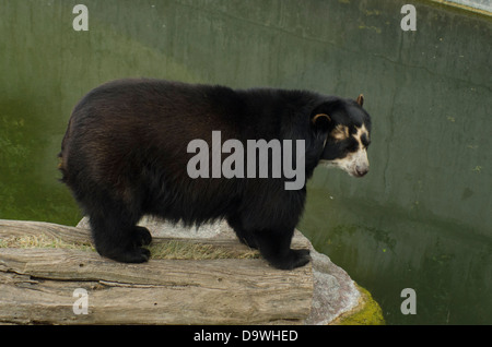 Spectacled Bear in the Zoo Wilhelma, Stuttgart (Germany) - Stock Photo