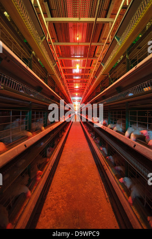 Battery Farming Hens in batteries - Stock Photo