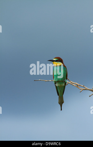 European Bee-eater (Merops apiaster), Kruger National Park, South Africa - Stock Photo