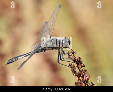 Close-up of a male Black Meadowhawk or  Black Darter dragonfly ( Sympetrum danae) - Stock Photo