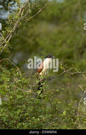 Burchell's Coucal (Centropus superciliosus burchelli or Centropus burchelli), Kruger National Park, South Africa - Stock Photo
