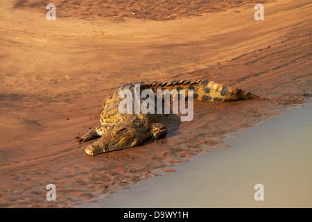 Crocodile (Crocodylus niloticus), Letaba River, Kruger National Park, South Africa - Stock Photo
