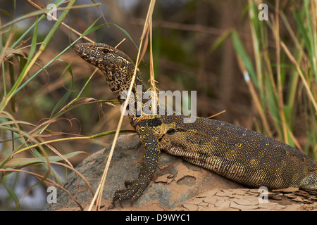 Nile monitor (Varanus niloticus), also called water leguaan, Kruger National Park, South Africa - Stock Photo
